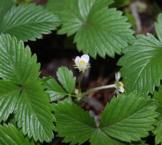 Winter Strawberry Flowers